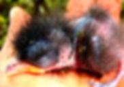 Ondulated Antpitta , chick
