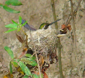 Chlorostilbon mellisugus, nest , chick ready to leave nest