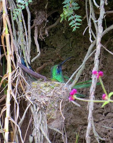 Sparkling Violetear, adult female nesting on eggs