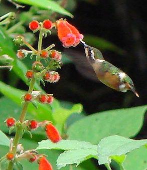 Esmeraldas Woodstar, female feeding
