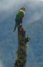 White -breasted Parakeet , adult