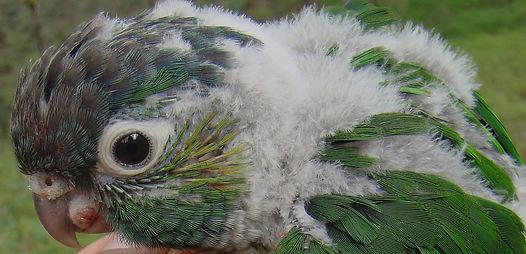 Monitoro d nidos White -breasted Parakeet