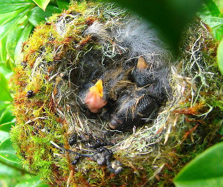 C.CORRUSCAN, nest, chick