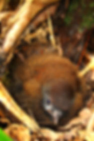 Jocotoco Antpitta , chick in nest