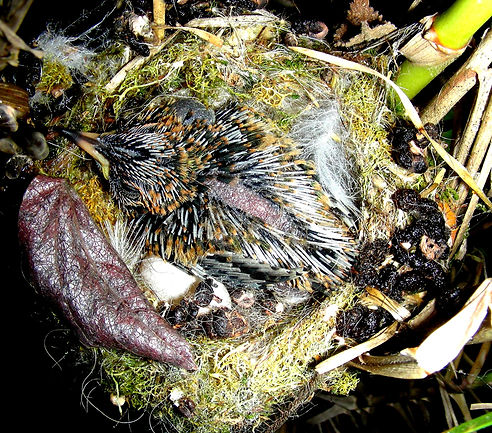 Colibri corruscan , nest , chick