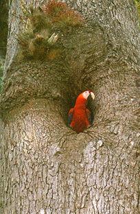 scarlet macaw nesting in cavity