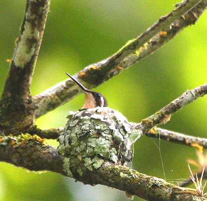Esmeraldas Woodstar, adult female sitting on eggs