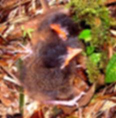 Chestnut - crowned Antipitta , chick