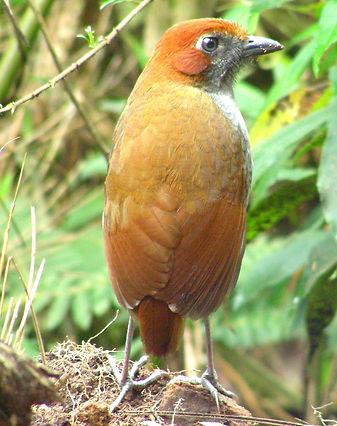 Chestnut - crowned Antipitta
