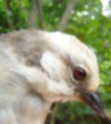 Paleheaded Brush - Finch