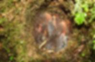Andean Solitaire ,Myadestes ralloides