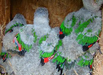 pichones P. albipectus