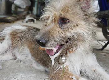 Rabid dog in Thailand