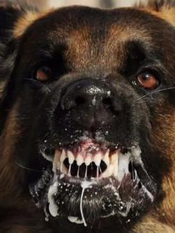 rabid-dog-thailand.