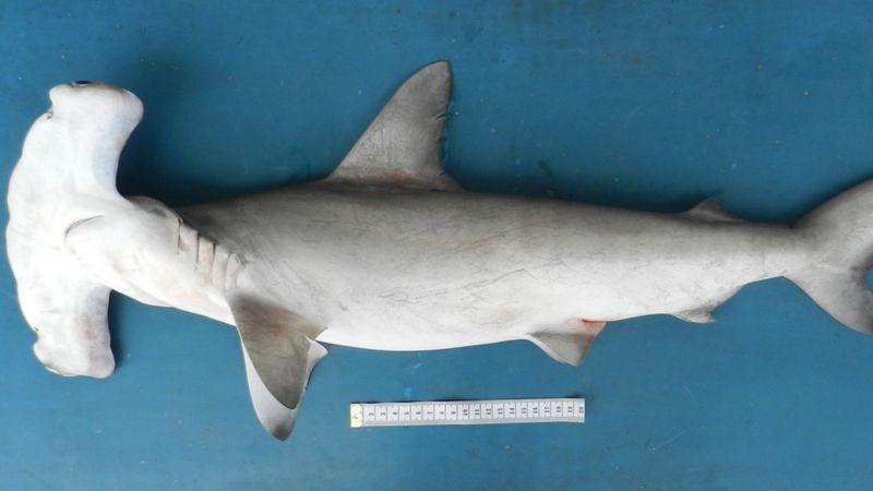 A foto mostra um tubarão em cima de uma mesa, ele tem a parte superior cinza e a barriga branca. A frente da cabeça é retangular.