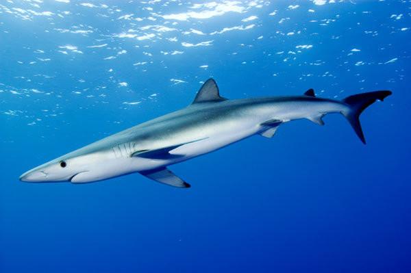 A foto mostra um tubarão nadando no oceano. Ele é um peixe comprido, com a parte superior azul escuro e a barriga branca.