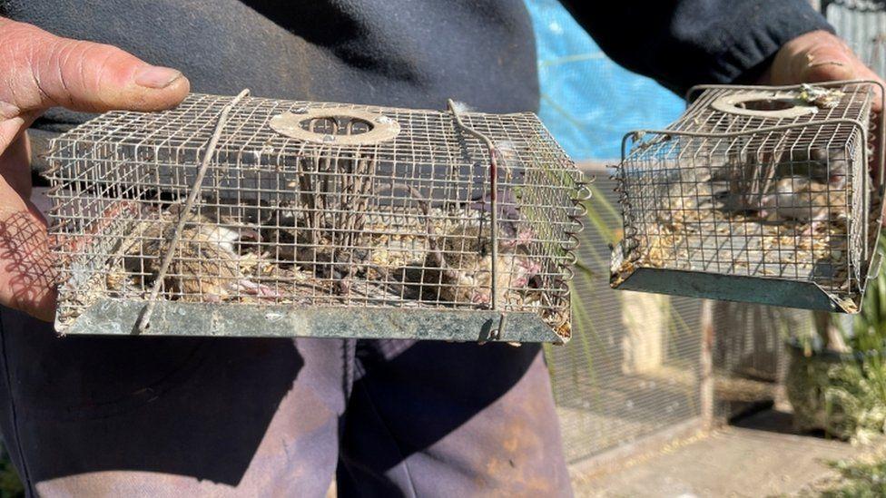 A foto mostra um homem segurando armadilhas para ratos, uma em cada mão. A armadilha é em forma retangular e de grades.