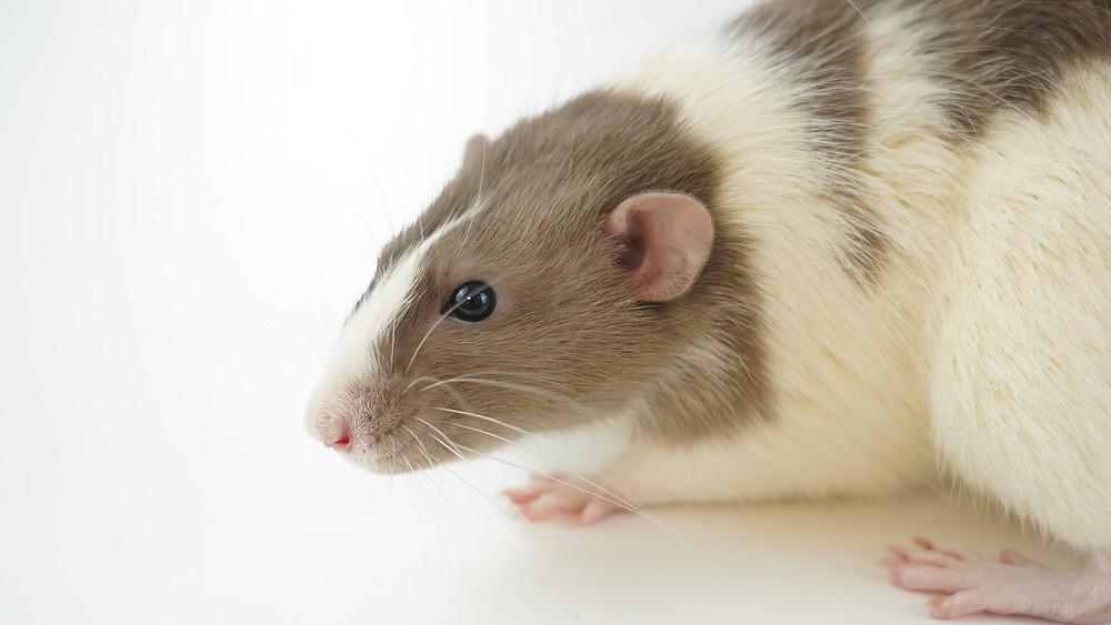 A foto mostra um ratinho de perfil. O rato é branco, com manchas marrons pelo corpo e pequeno. O fundo é branco.