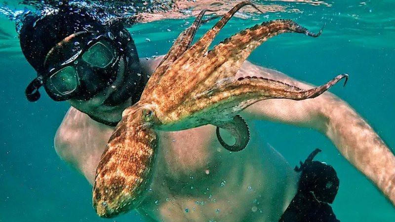 É uma foto. Ela mostra um homem mergulhando ao lado de um polvo. O homem está com a barriga nua, usa uma máscara, óculos e um snorkel de mergulho. O polvo é de cor amarelo claro com manchas amarronzadas pelo corpo.