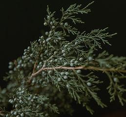 Juniper-Branch.jpg