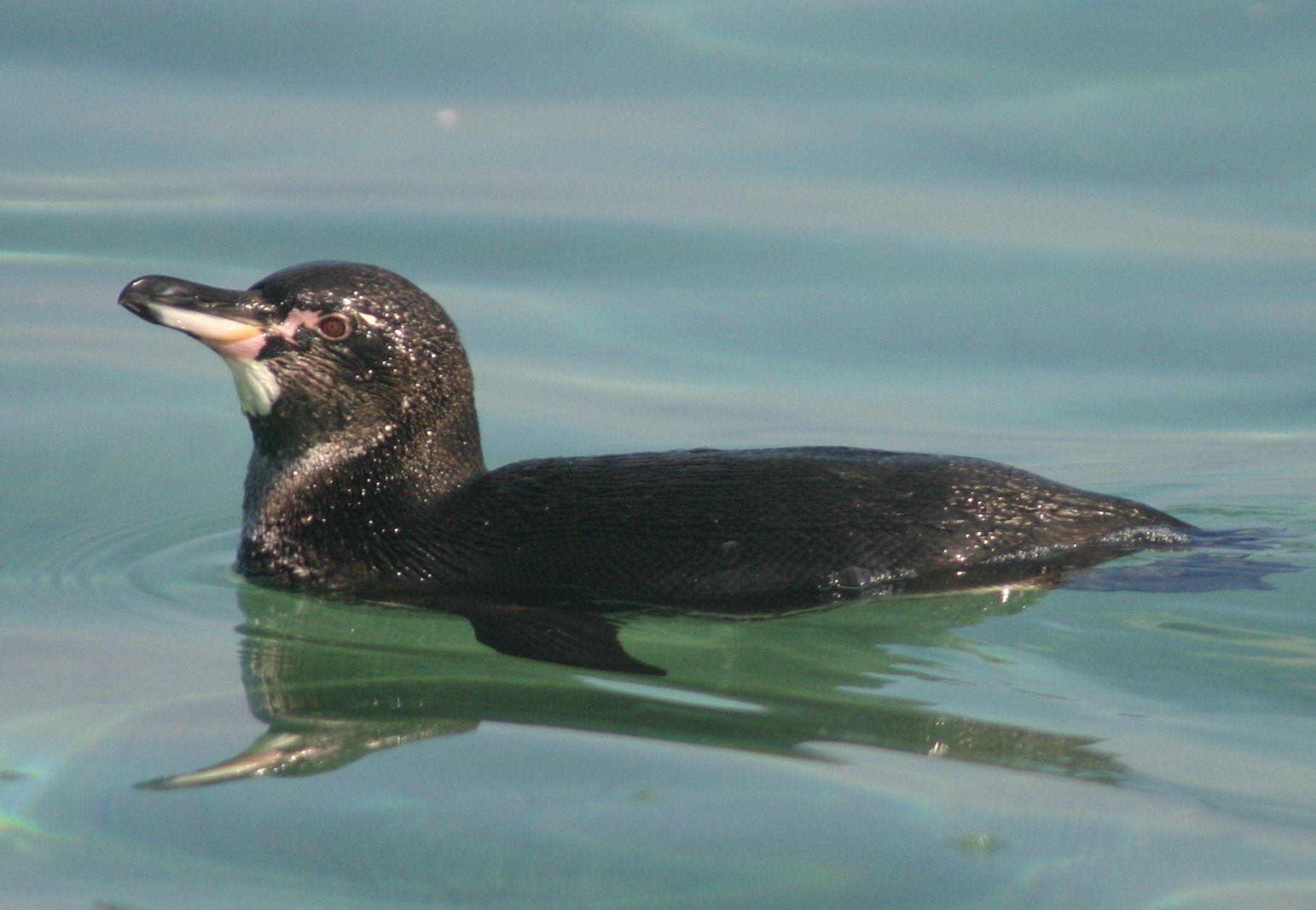 Male Galápagos penguin