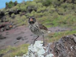 Galápagos Finch