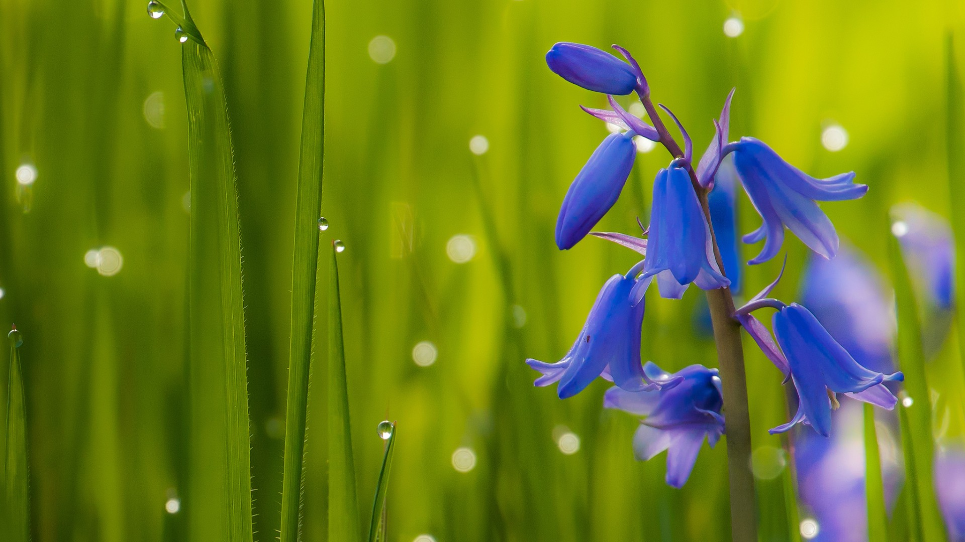 bluebell-flower-in-blades-of-grass-on-sunny-day-with-selective-focus-on-flower-at-background-of-fiel