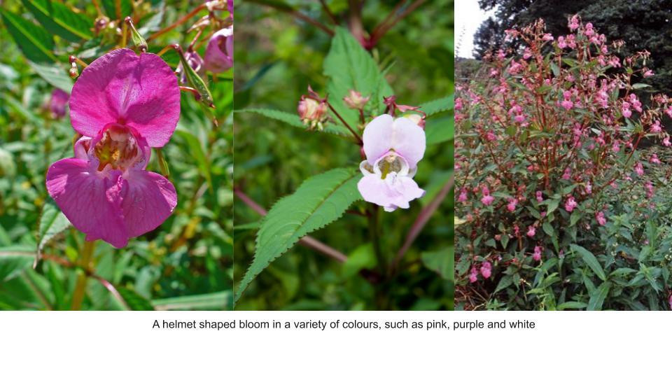 Image 1: https://en.wikipedia.org/wiki/File:Impatiens_glandulifera_0004.JPG Image 2: https://mk0devonnph9j1kyjbo.kinstacdn.com/wp-content/uploads/sites/18/2018/03/Himalayan-Balsam-flower-close-up-DBRC-002.jpg Image 3: Himalayan balsam. Credit: RHS/Advisory.