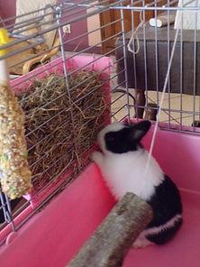 Aménager la cage d'un lapin, aménagement cage, élevage familial lapins nains, foin, paille, ratelier