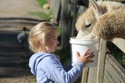 Feed alpaca