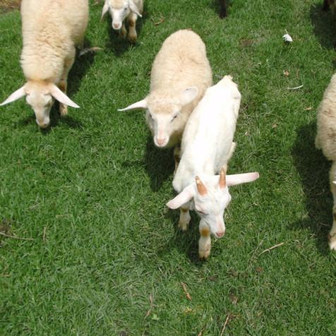 lambs 1 (4).JPG