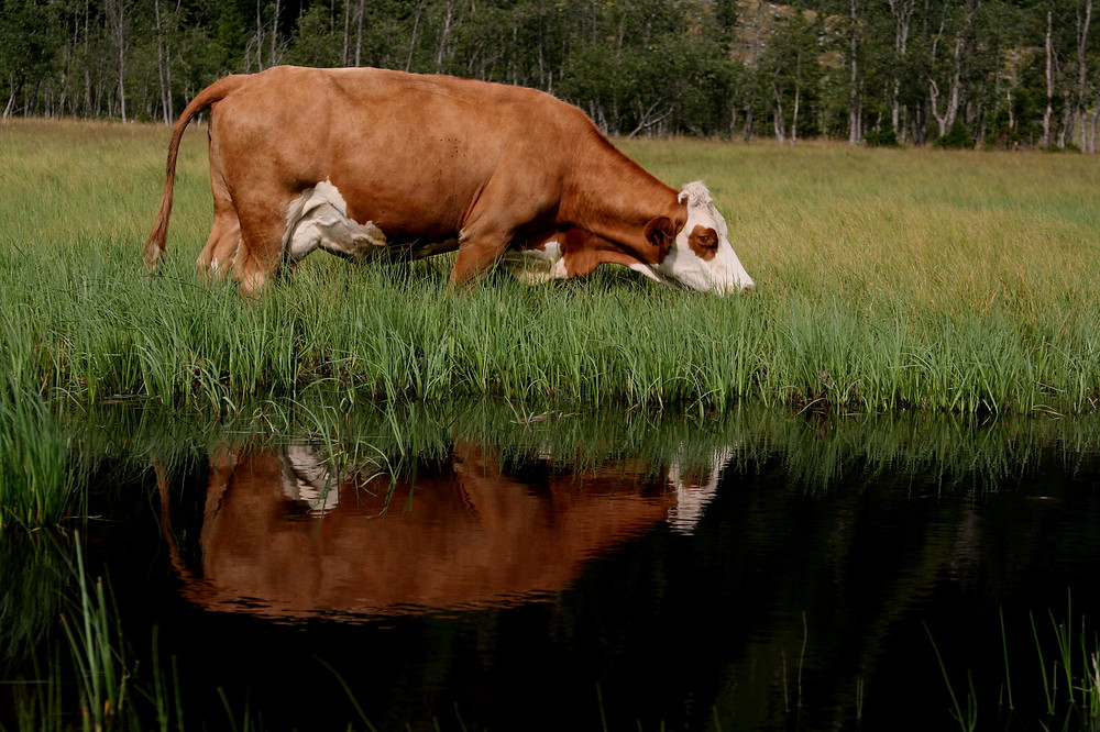 Meat consumption increases water usage