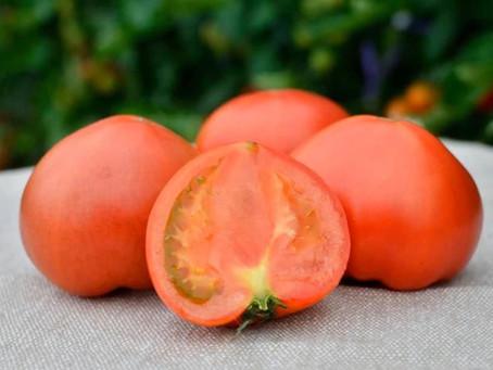 おいしいという感想が続々と|清水農園トマトがいよいよ1番おいしくなる時期です!