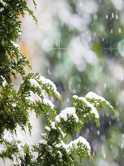 Birchwood Pine