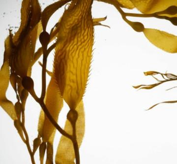 Macrocystis Pyrifera, aka Giant Brown Sea Kelp, is Essential to Beautiful, Healthy Skin