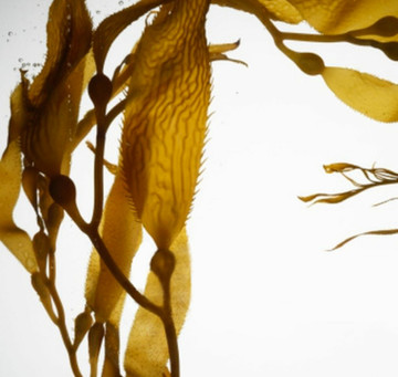Macrocystis Pyrifera, aka Giant Brown Sea Kelp, is Essential to Beautiful, Healthy Skin