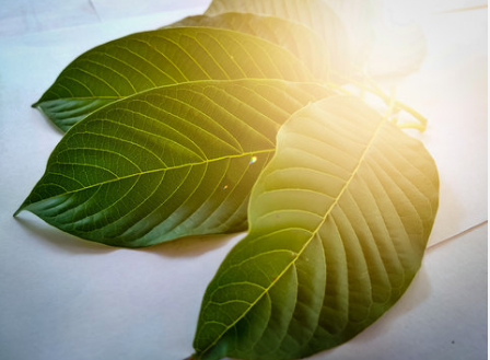 University of Florida Study Shows Promise for Kratom Treating Opioid Addiction
