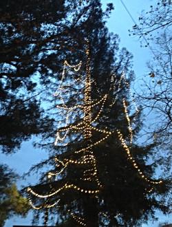 Redwood Trees Lighted