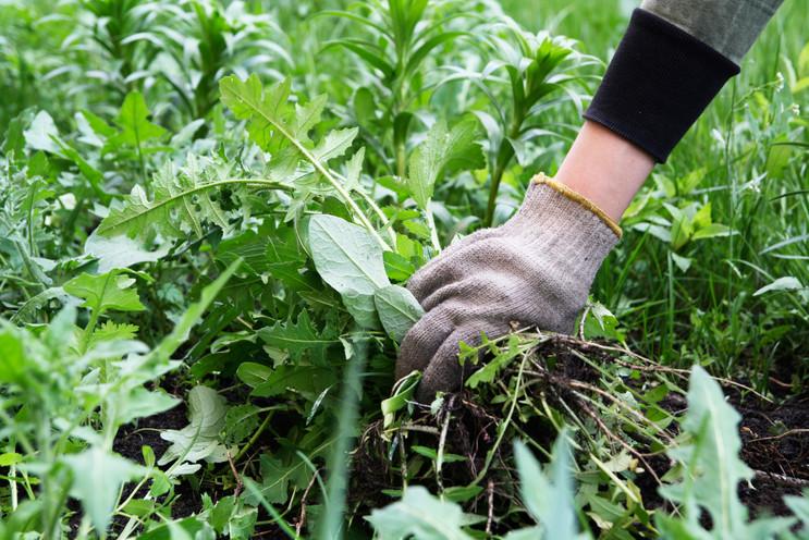 gardener-s-hand-glove-with-torn-weeds-we