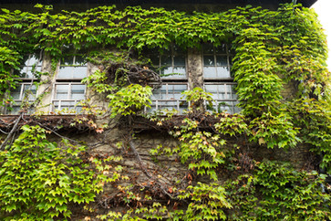 ivy-creeper-on-a-wall-surrounding-window