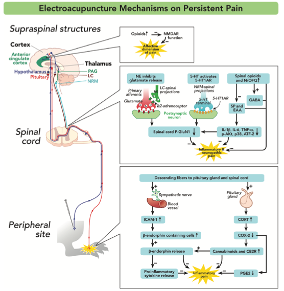 Electroacupuncture Mechanisms on Persistent Pain