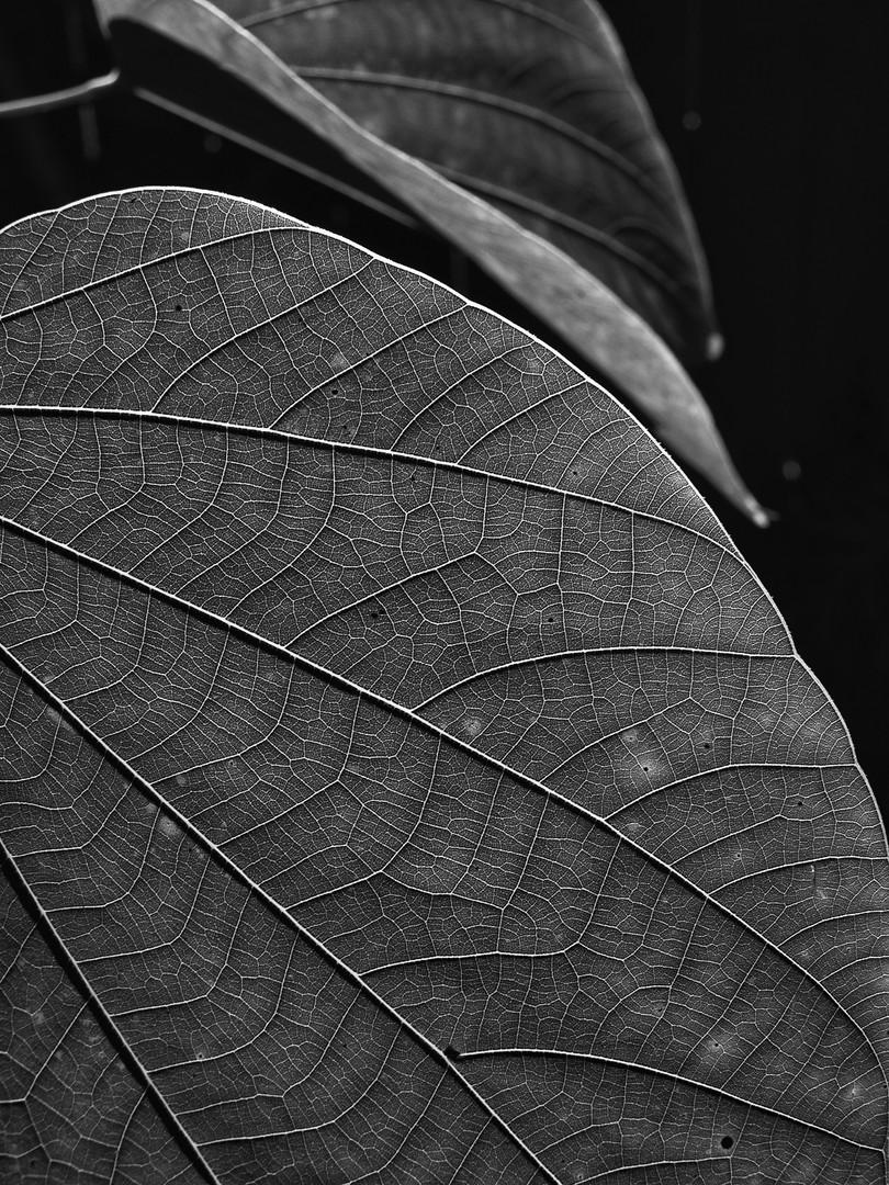 Leaf Shadows No.1