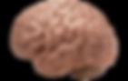 brain trans.png