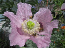 Honeybees on poppy flower