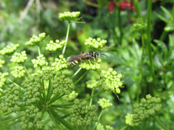 Wasp on parsley flower