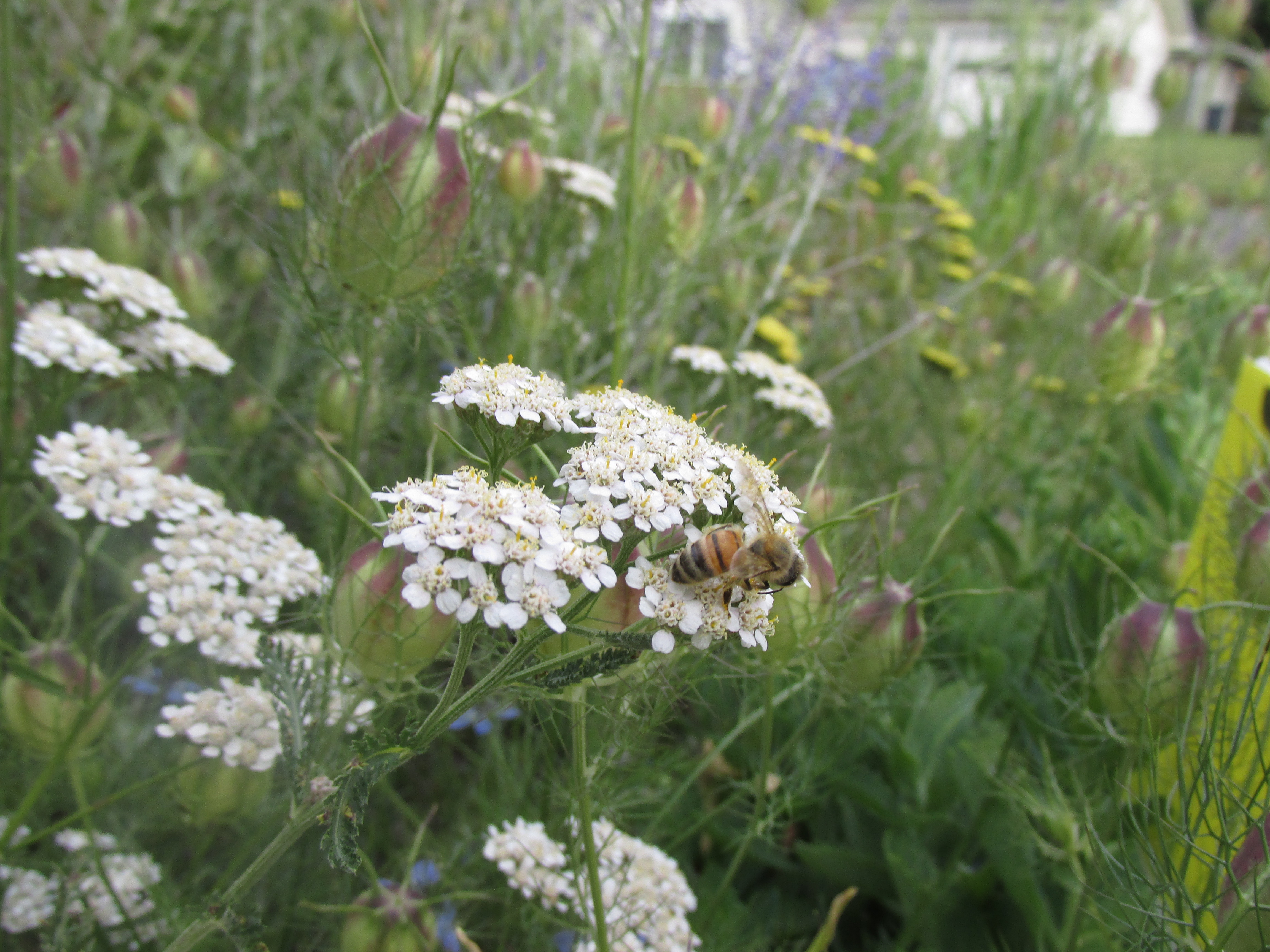 Pollinator on white yarrow