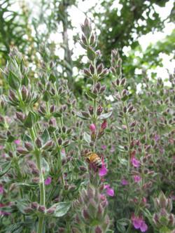 Pollinator on germander flowers
