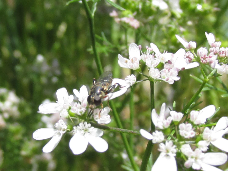 Pollinator on cilantro flower