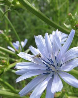 Pollinator on chicory