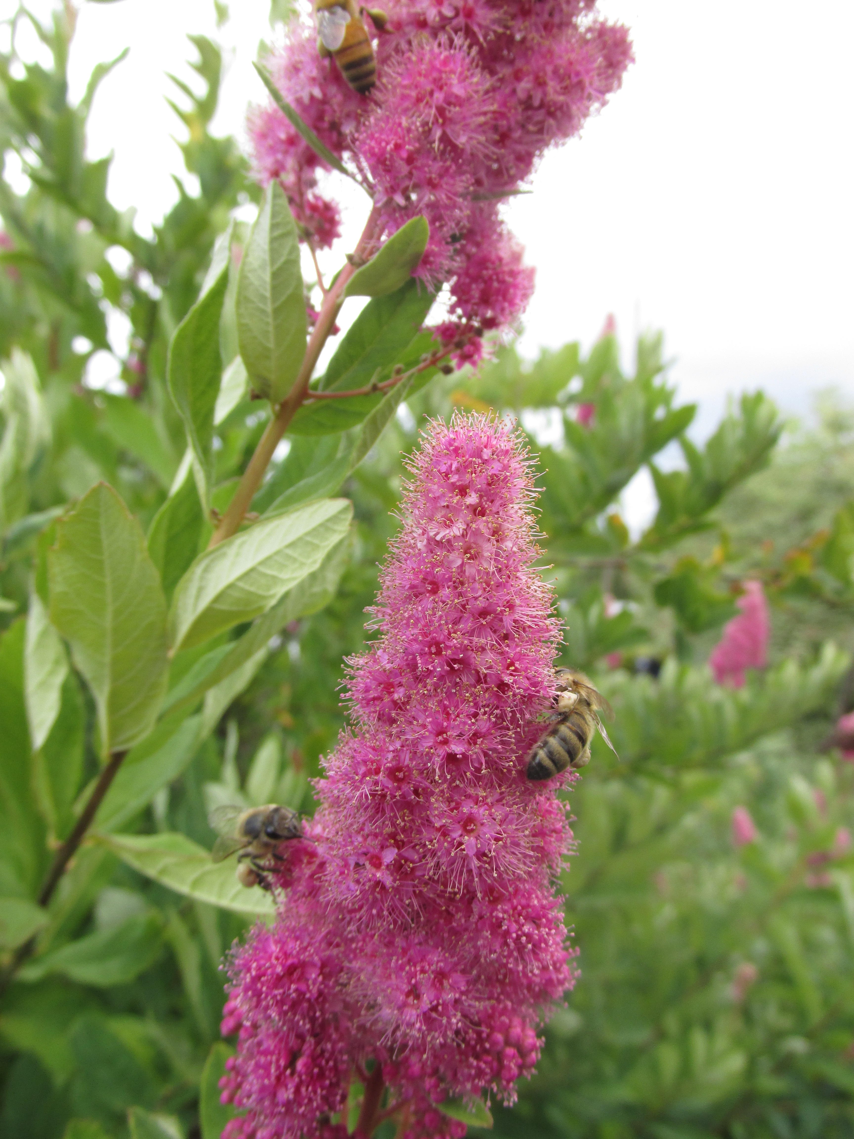 Pollinators on spirea flowers
